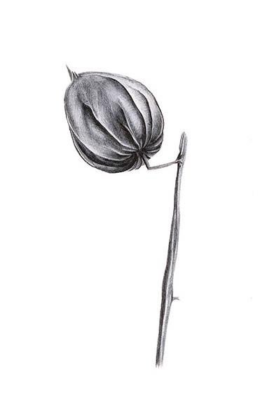 Botanische Zeichnung Lisbeth Habusta Lampionblume